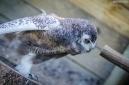Civetta delle nevi - Snowy Owl