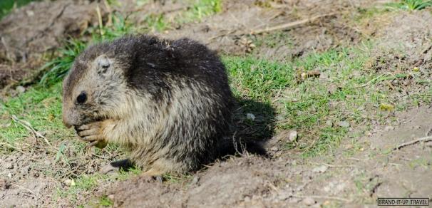 Marmotta - Marmot