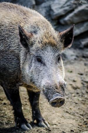 Cinghiale - Wild boar