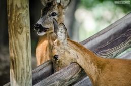 Capriolo - Roe Deer