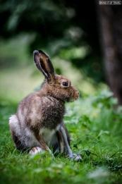 Lepre - Hare