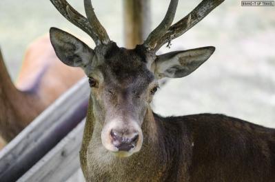 Cervo - Deer