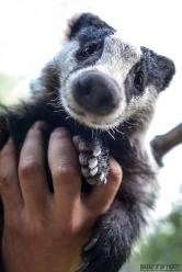 Tasso - Badger