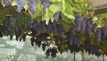 Festa dell'uva Donnas